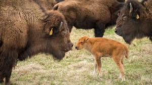 Baby Bison picture